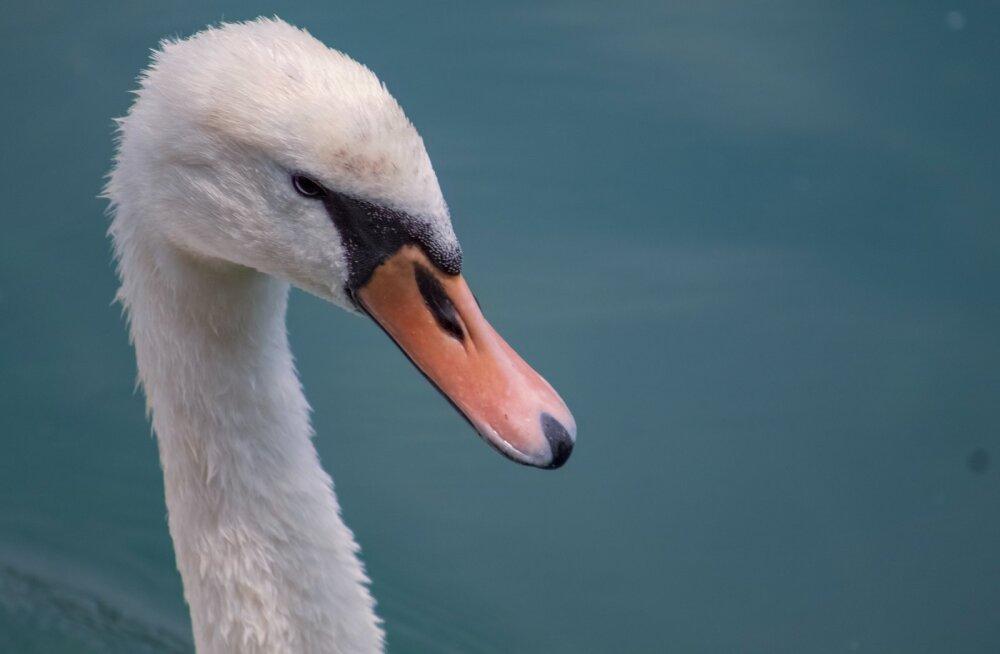 ВИДЕО | Лебедь едва не раздел девушку, которая его покормила