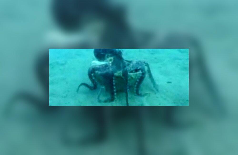 Kaheksajalg kasutab kookospähklikoort kilbina