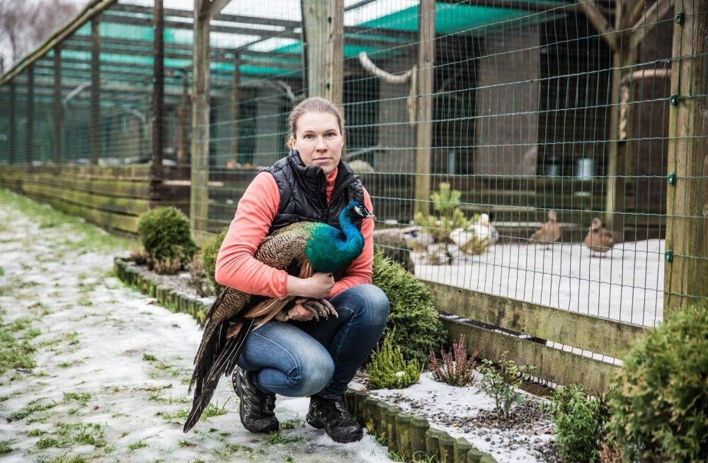 Anneli Naadel näitab kaheaastast paabulindu. Veel aasta kasvamist ja siis peaks tema saba olema lehvikuna laiali löömiseks piisavalt suur.