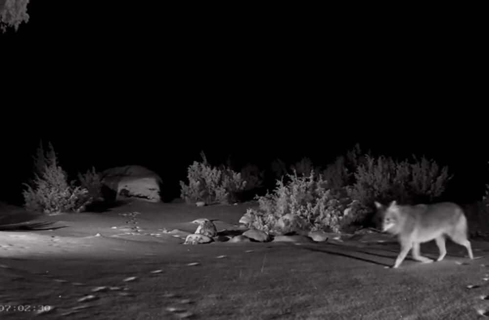 VIDEO | Täna varahommikul püüdis šaakalikaamera kaadrisse ühe hiiliva hundi