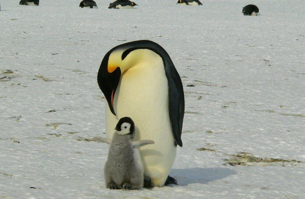 Maailma üks olulisemaid keiserpingviinide kooloniad on sisuliselt kadunud: hukkus pea kogu järelkasv