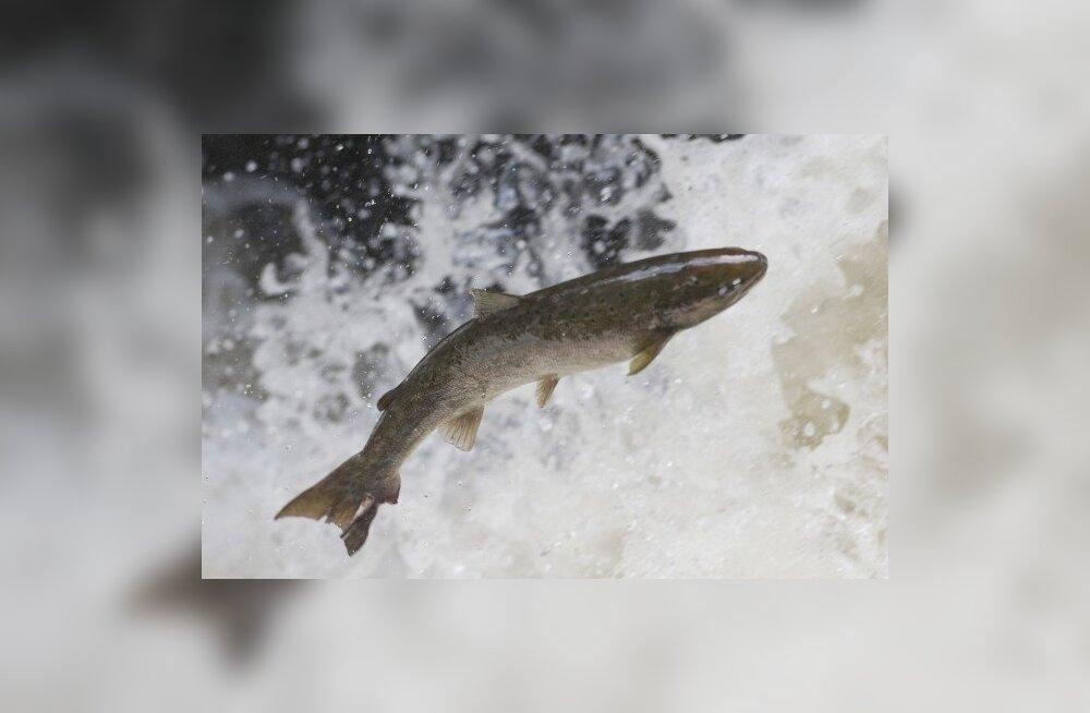 Sügisel keelatakse ühe kuu vältel harrastuslik lõhepüük jõgedes