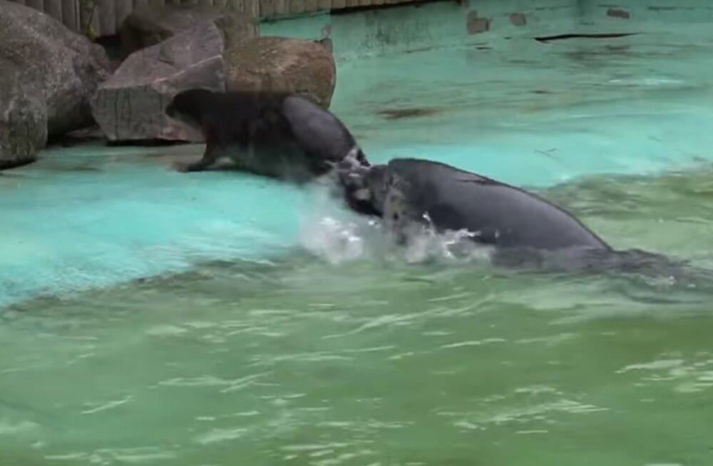 VIDEO | Loomaaias sündinud hülgepoeg Virgo lubati viimaks ometi suurde basseini