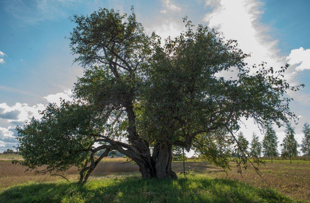 Oti õunapuul on vanust üle 270 aasta.