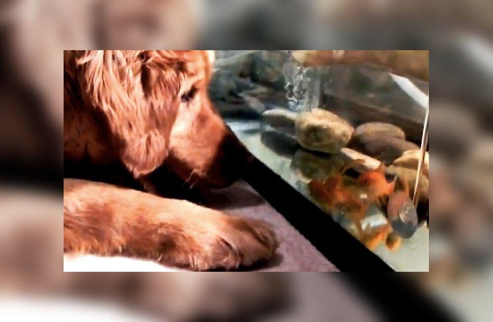 VIDEO: Kuldne retriiver tahab tutvuda akvaariumikaladega