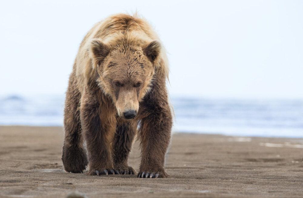 Harrastusfotograaf Peeter Karaskit ründas ööl vastu tänast karu: sellist surmahirmu pole ma veel tundud. Käed värisevad ja süda lööb viimaseid täistuuridel lööke