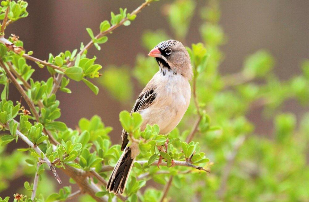 Üllatav: kuumaga toime tulekuks tõstavad linnud kehatemperatuuri