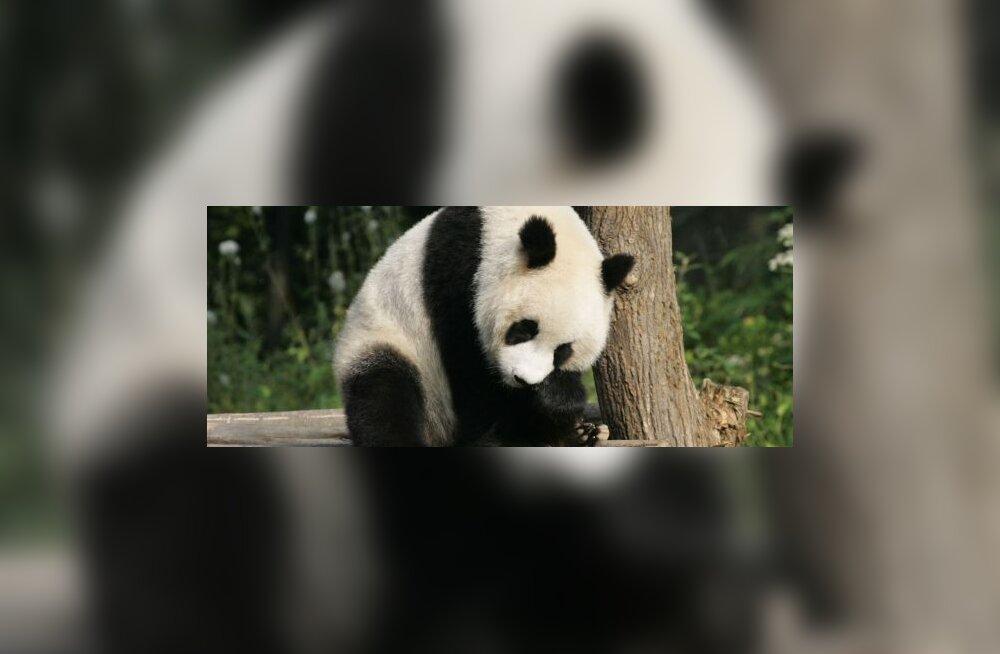 Panda kallistamine võib lõppeda haiglas
