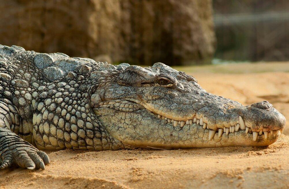 Šokeeriv juhtum: hiiglaslik krokodill ründas teda toitnud teadlast