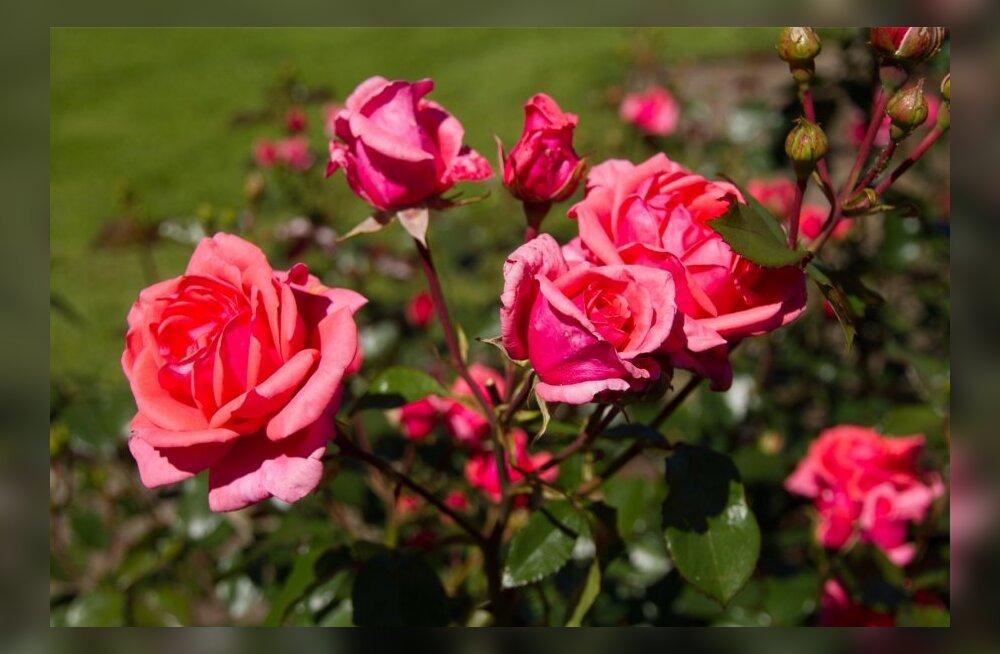 Moosi ja veini tootmiseks rajatakse roosipõld