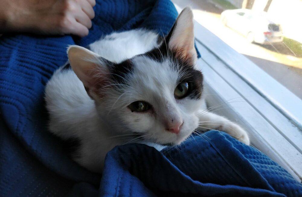 Aita leida kodu: vaid mõne kuu vanuse kassipoja tulevik on lahtine