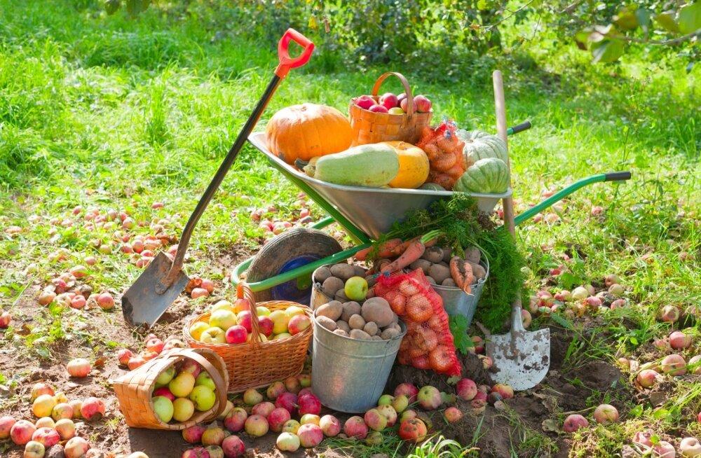 Koristage saaki järk-järgult, laskmata köögiviljadel liiga suureks kasvada. Ka ülejäägid tuleb aiast eemaldada.