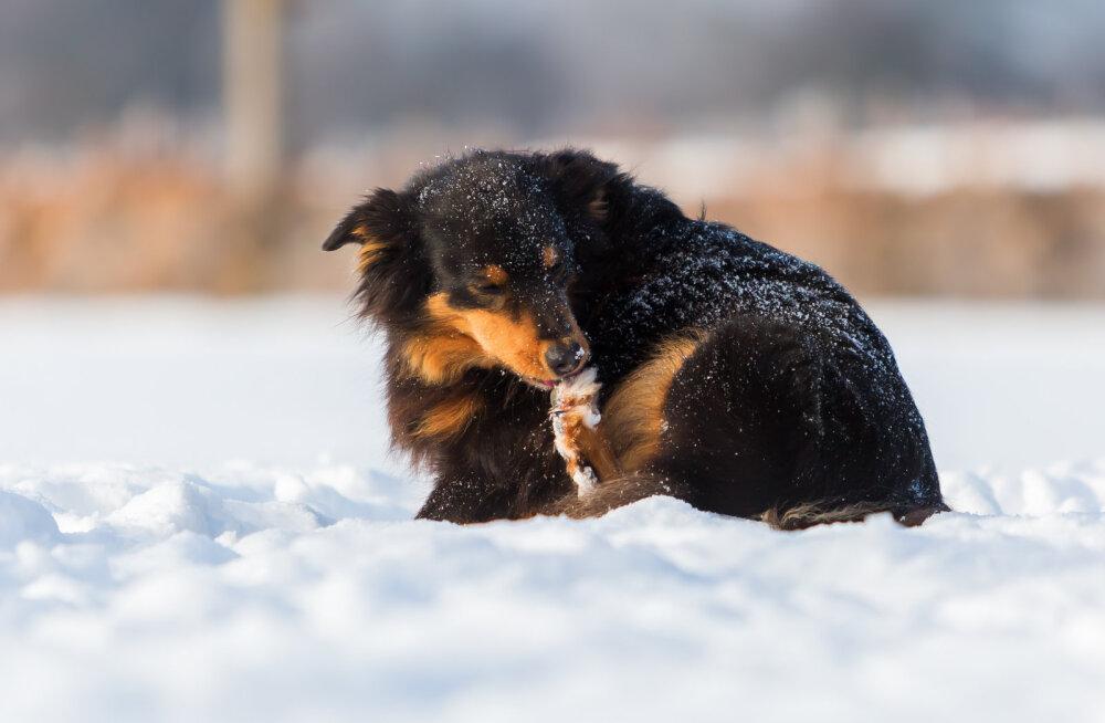 Käpapadjandid olgu pehmed: kuidas oma koera käppasid õigesti hooldada?