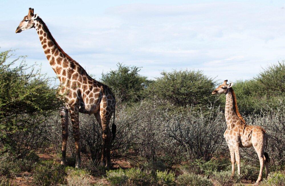 ФОТО | Тело лошади, а шея жирафа: в Африке впервые обнаружены карликовые жирафы