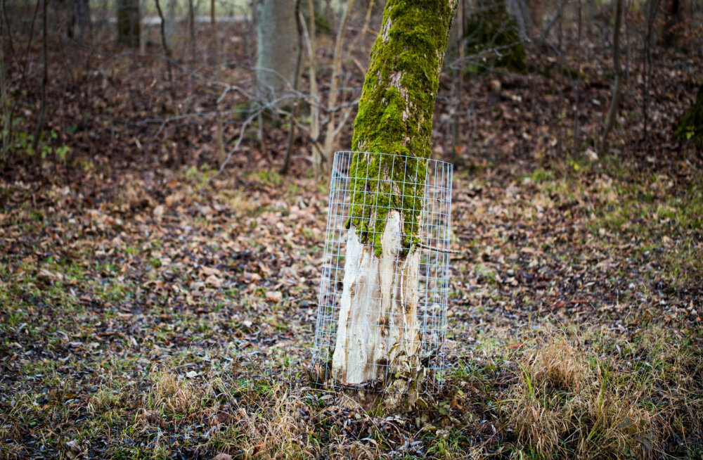 Näpunäited, kuidas kaitsta viljapuid näriliste eest