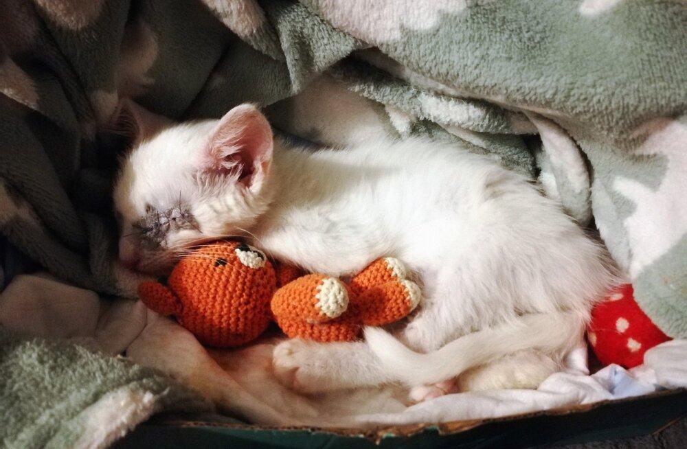 Tibu lugu | Laitsest leitud paarikuust kassipoega katsid ainult luu ja nahk, eemaldada tuli ka tema silmad