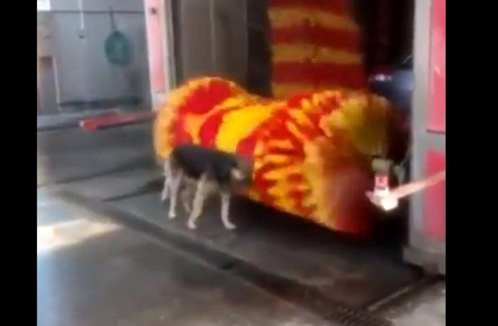 VIDEO | Koeraomanikele kaks-ühes-autopesu: sopane aeg nõuab ka vastavaid meetmeid