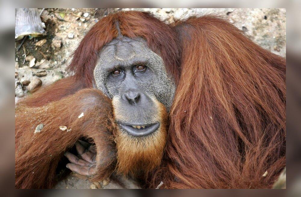 Isased orangutanid pikendavad inimese eeskujul lapsepõlve