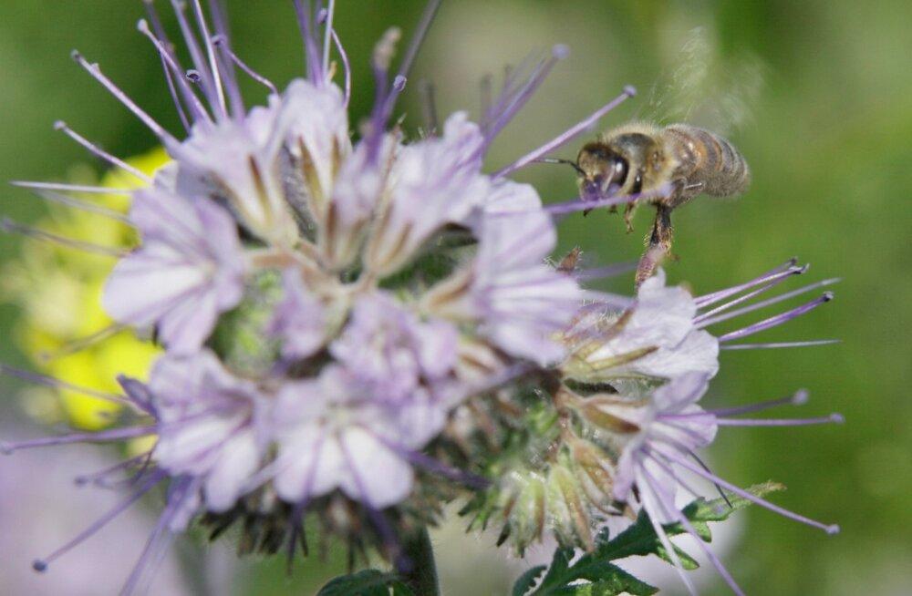 Mesilased põllul