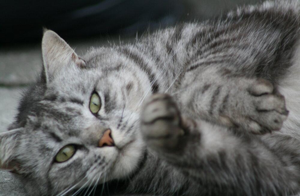 Kümme märki, et sinus on peidus natuke kassi