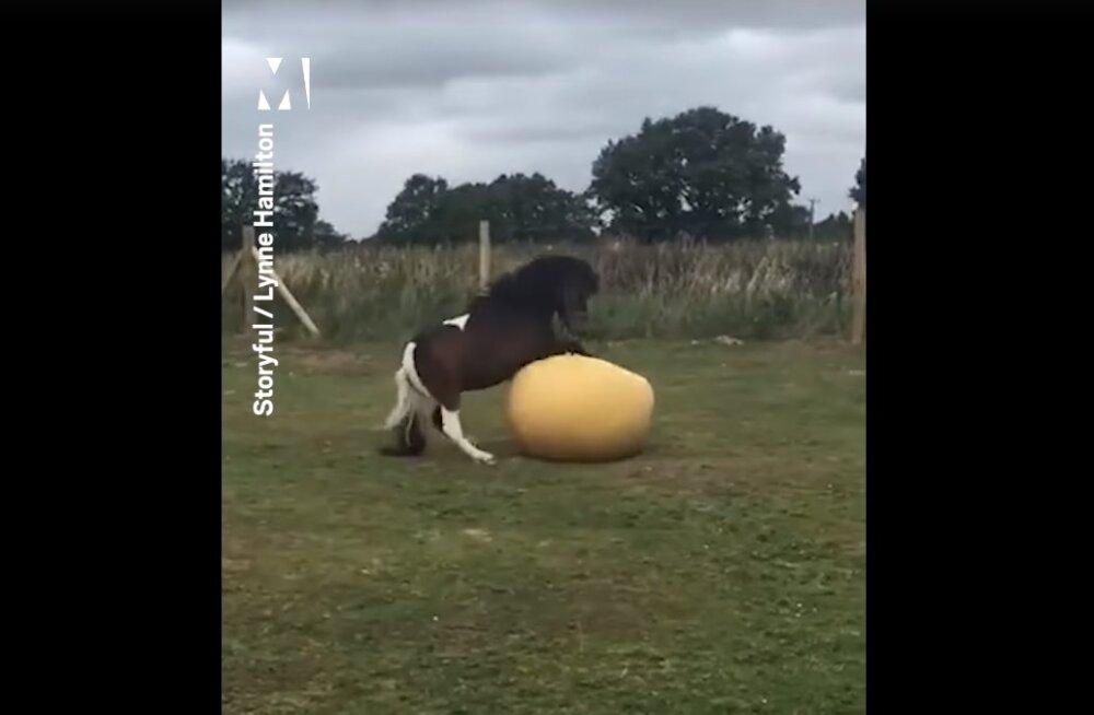 Lustlik VIDEO | Ka hobune võib pallimängus väga tugevaks vastaseks olla!