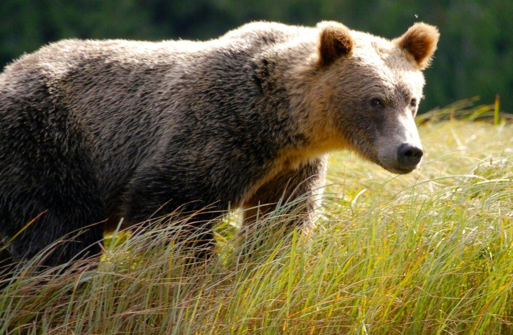 Esimest korda Eestis vaidlustasid metsa- ja metsloomakaitsjad karu küttimise eriloa
