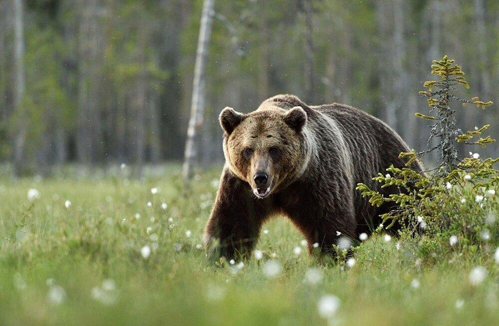 Ulukiuurija Peep Männil lätlastele: õppige karudega koos elama, hirm on põhjendamatu