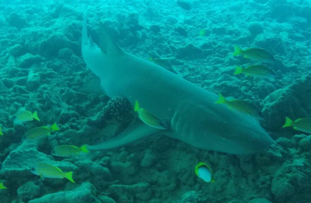 Руку пропавшего туриста с обручальным кольцом нашли в желудке акулы