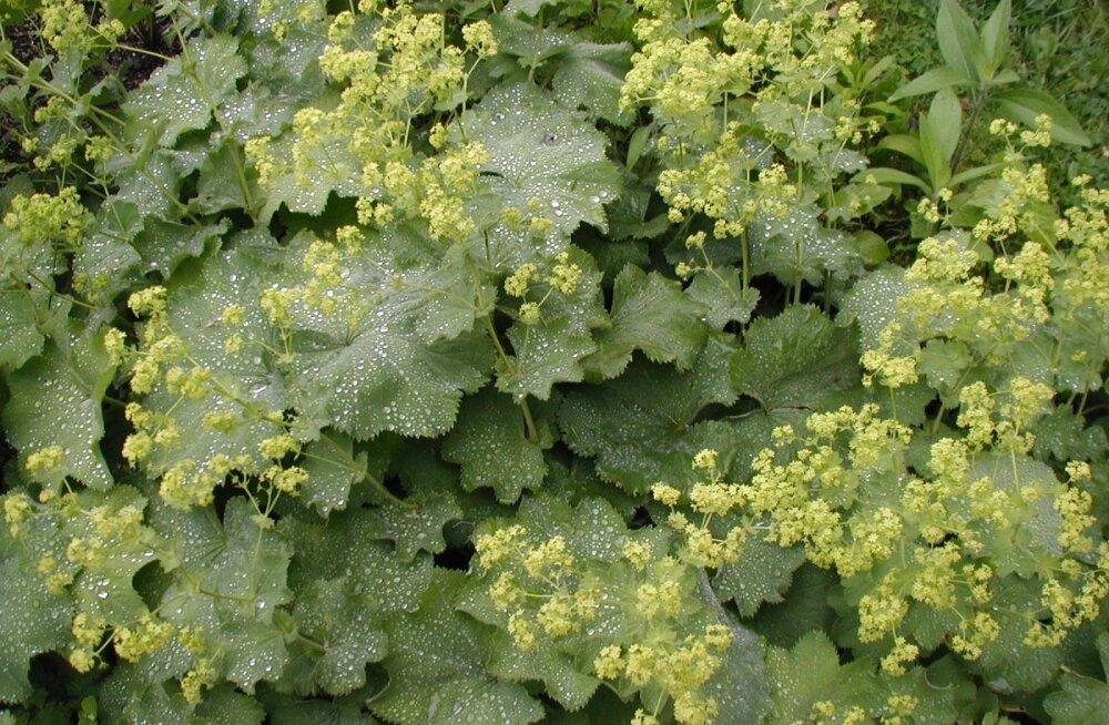 Kortsleht - suurepärane naistetaim, mis sobib salatisse ja haava peale