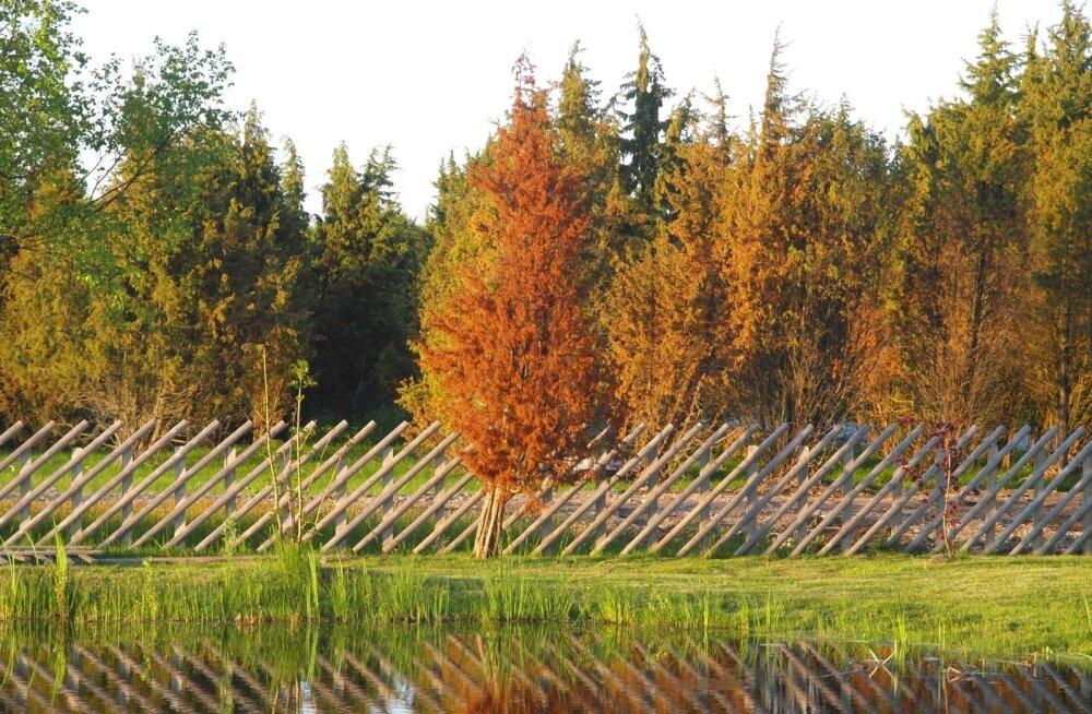 Kõrbenud kadakad Saaremaal