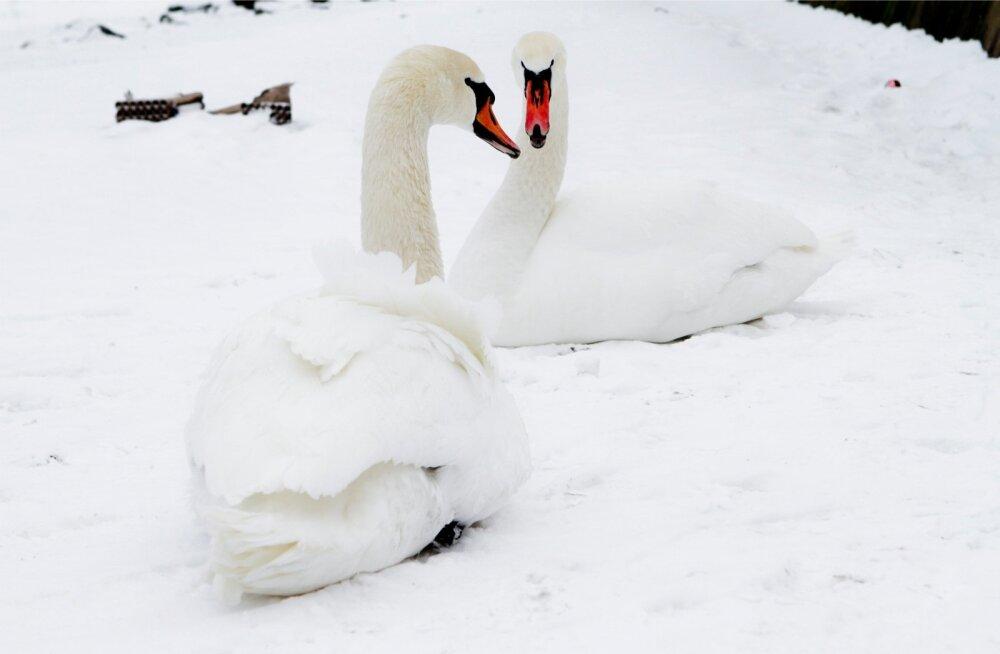 Lumine lauluväljak