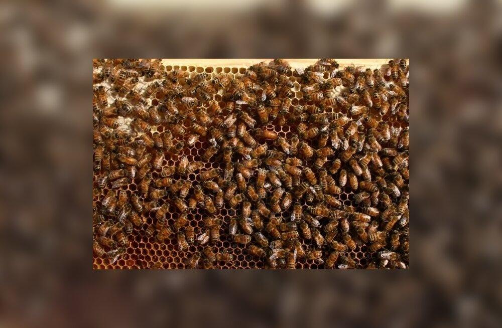Eelkõige peab mesinik ise oma mesilasperede olukorda jälgima.
