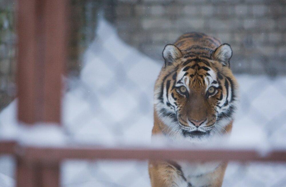 Tallinna Loomaaias viidi halastussurma tiiger Piiga: loom oli silmnähtavalt vaevas