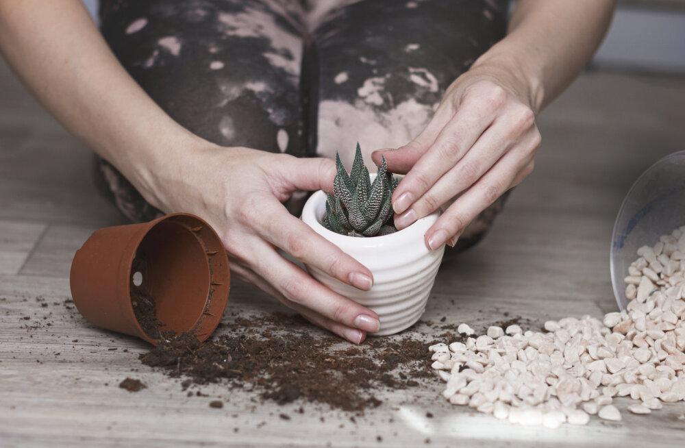 Kuigi kaktused on enamasti väga vitaalsed ja juurduvad kergesti uuesti, ei juhtu seda vanas ebasobivas mullas.