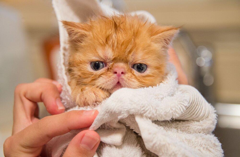 В Ласнамяэ обнаружили подпольный кошачий питомник с ужасными условиями содержания животных