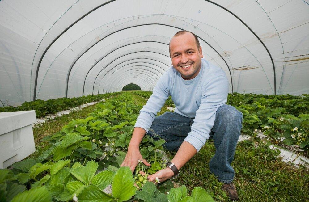 Kolm nõuannet kuidas saada maasikakorjajast edukaks maasikaettevõtjaks