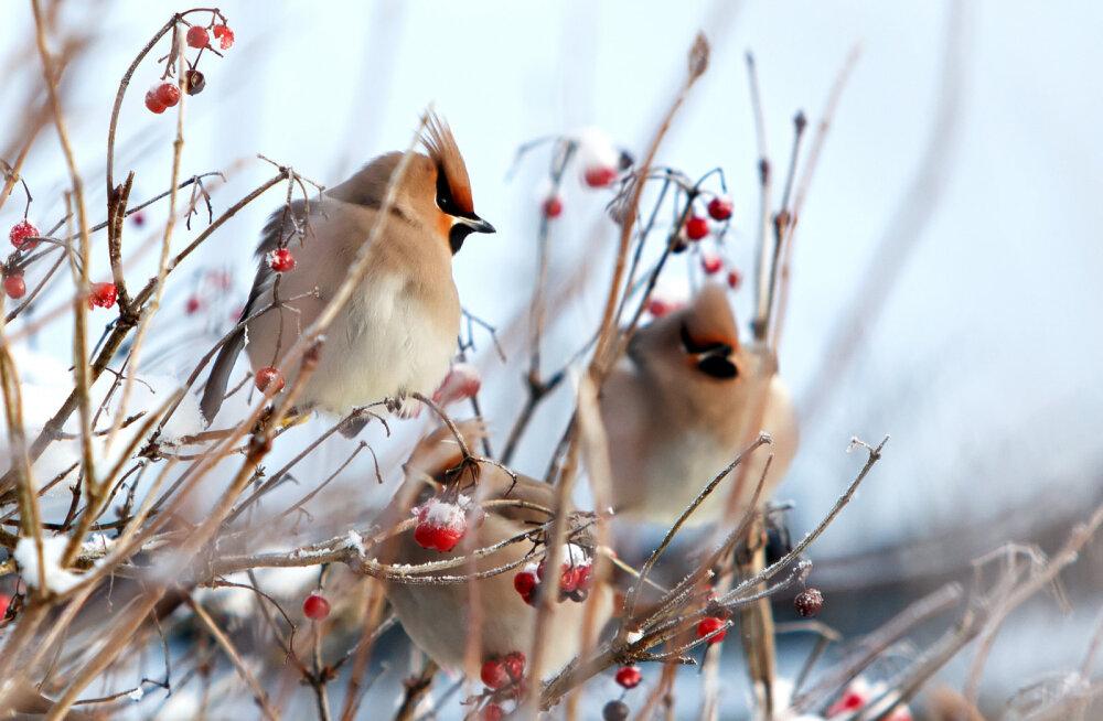 Käes on kesktalv: jaanuari ehk südakuu pühad ja ajad