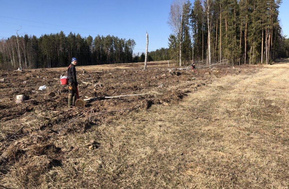 Metsatervenduse osaühing alustas metsaistutusega
