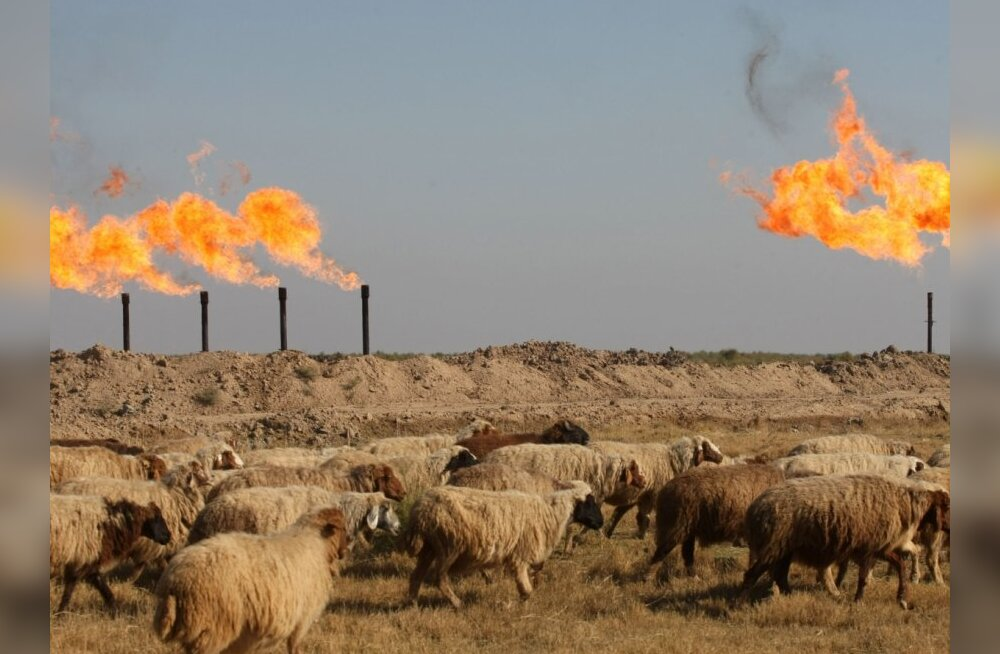 Sheep graze outside the Halfaya oil field near the southern city of Amara on December 12, 2009. Iraq struck deals with several foreign energy giants to nearly triple its oil output in an auction that ended, as the country bids to become one of the world's