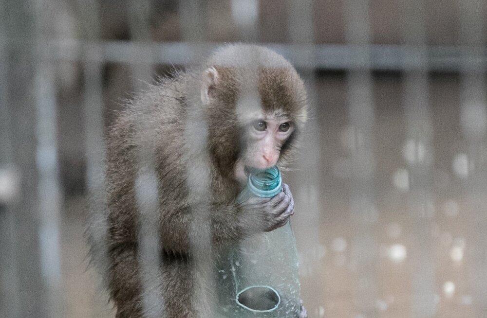 Jaapani makaagid loomaaias