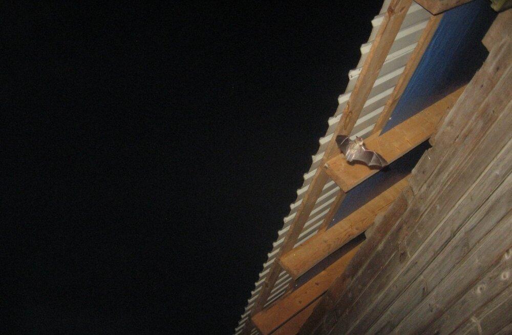 Õhtuhämaruses seiklevad maja ümber taas nahkhiired