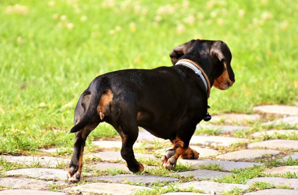 Kuidas käituda, kui koer kodust ära jookseb?