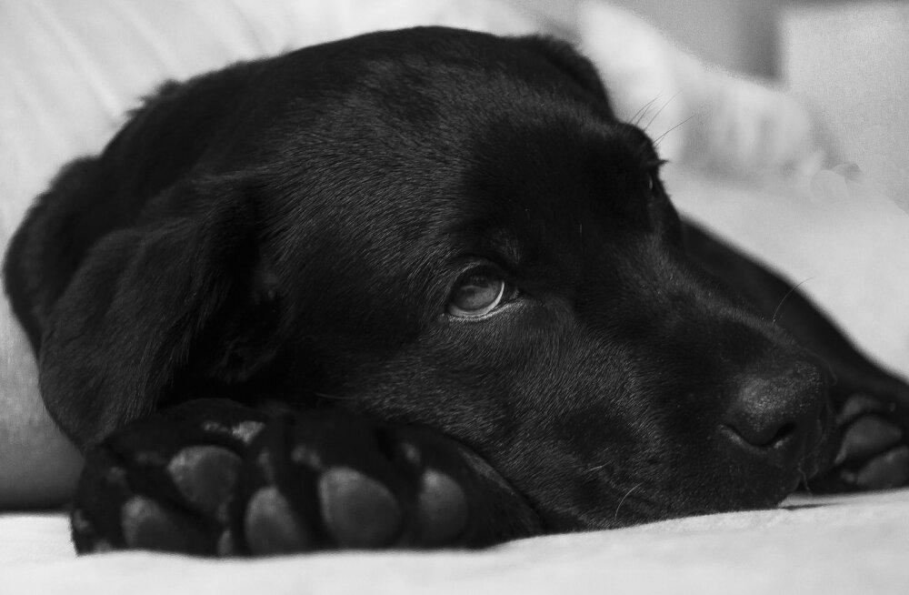 Kennelköha on väga nakkav: 7 olulist punkti, mida meeles pidada