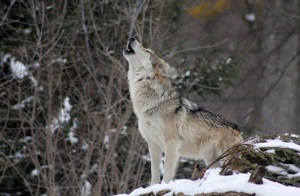 Euroopa Kohus kinnitas, et meie metsades elavaid hunte tuleb kaitsta