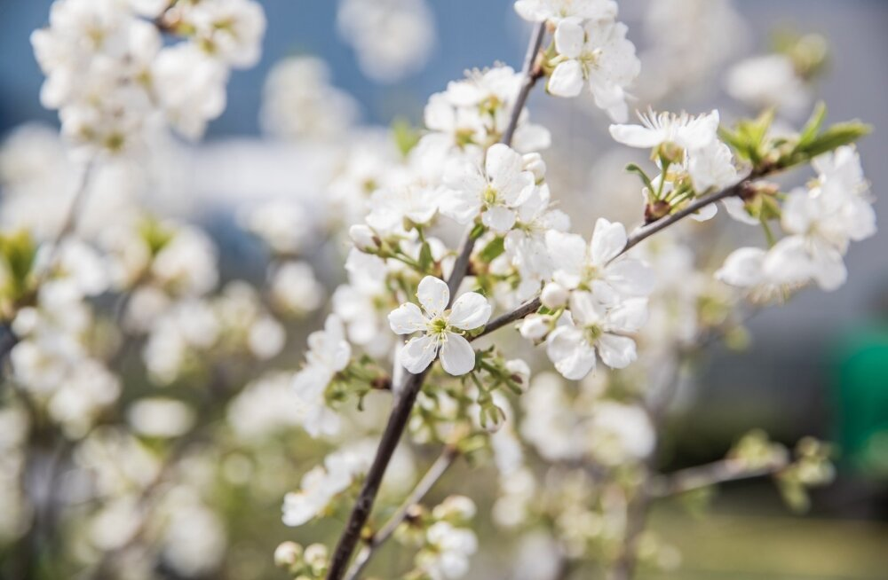 Kirsipuud õitsevad Maamessil