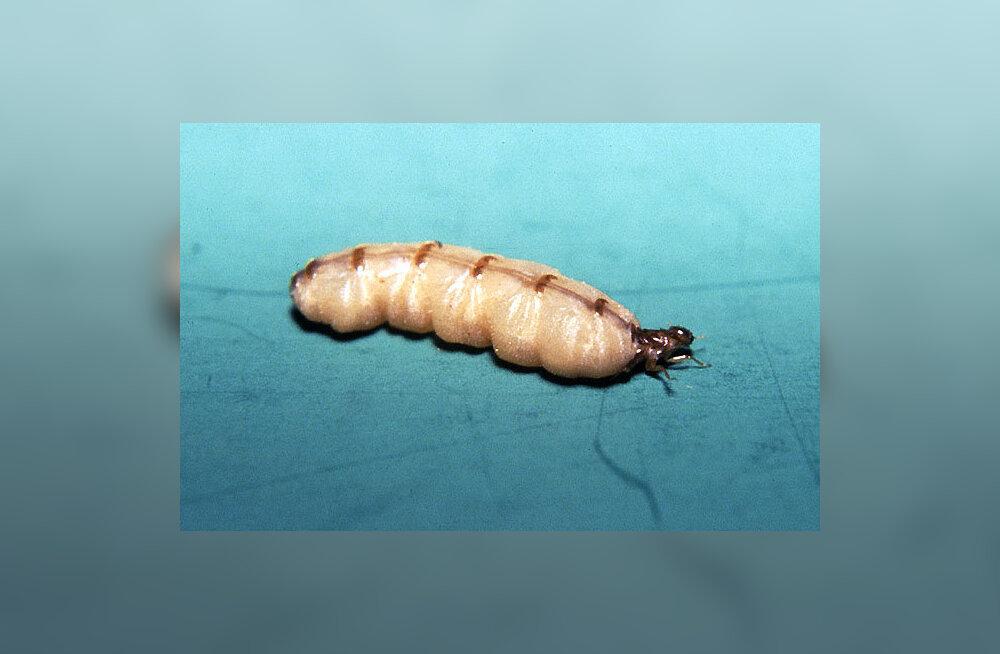 Termiidikuninganna – uskumatult pika elueaga putukas