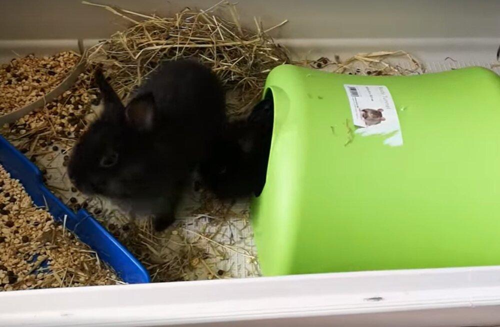 Üllatavad hoolealused: loomakaitse selts otsib kodu armsatele küülikupoegadele