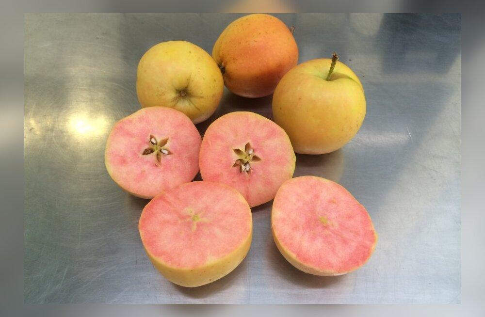 Surprize: pealtnäha tavaline õun, aga hammustajat ootab üllatus