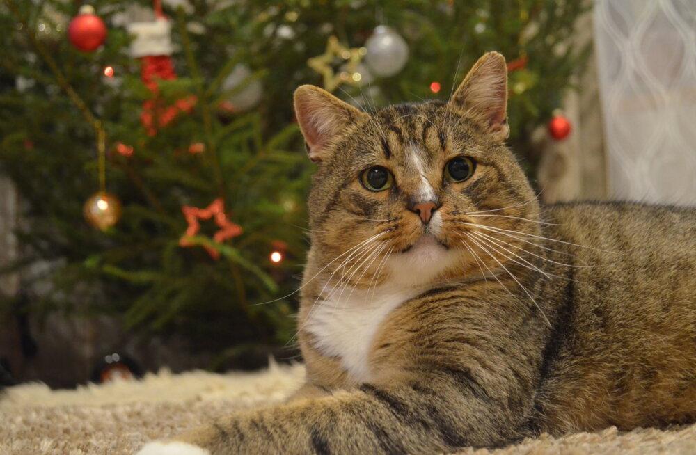 Kusti eriline lugu | kass, kes jalutas otse Eesti Loomakaitse Seltsi vabatahtliku taluõuele