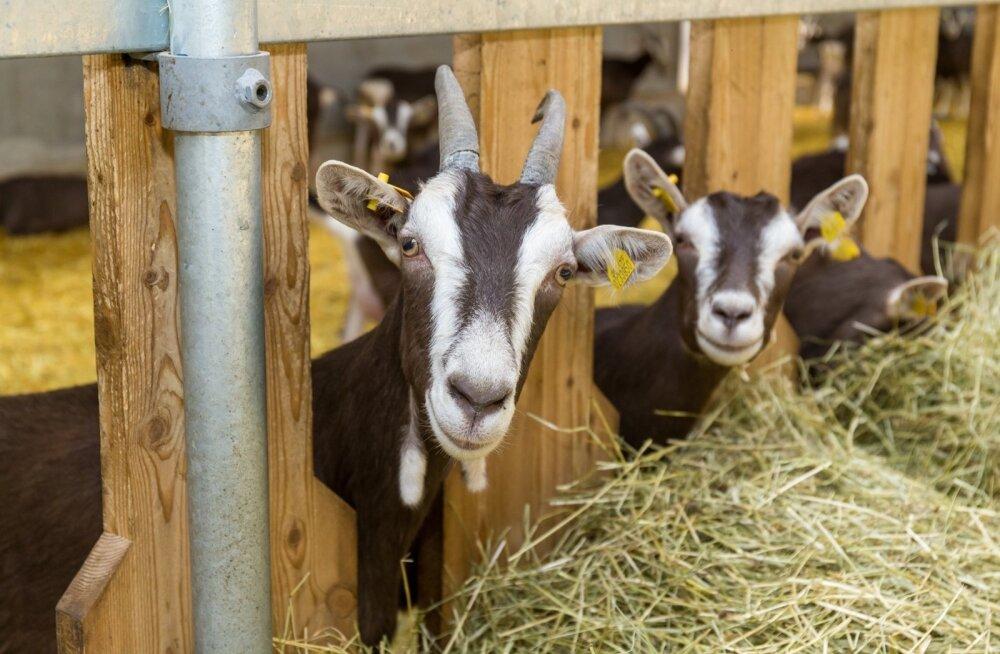 Andri-Peedo talu kitsed ei käi karjamaal ja seega pole neil ka võimalik puuke kohata.